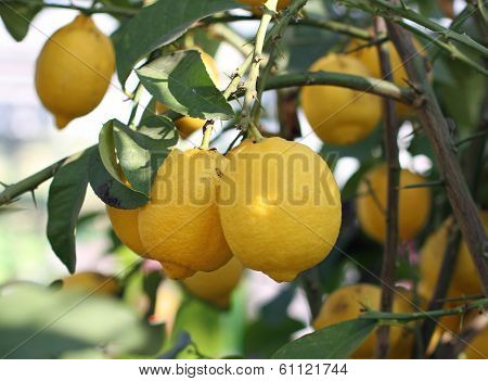Yellow Ripe Lemons From Sicily Hanging From A Tree