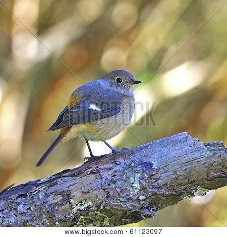Female Daurian Redstart