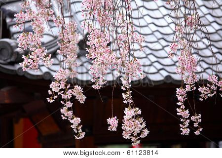 Japanese wooden house with weeping sakura