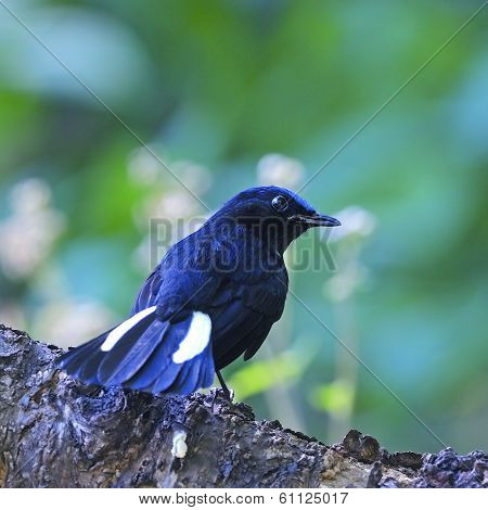 Male White-tailed Robin