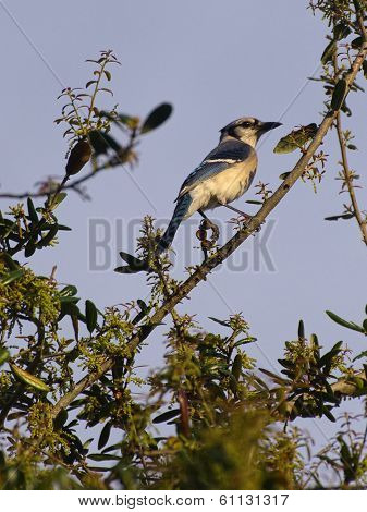 Blue Jay on Top of a Tree