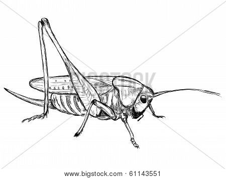 Grasshopper (Decticus verrucivorus)