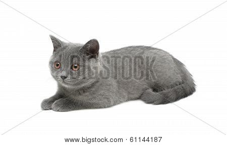 Kitten Isolated On White Background Close-up