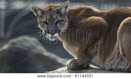 Mountain lion on a ledge