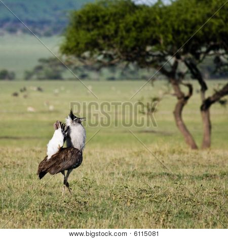 Kori Bustard Displaying