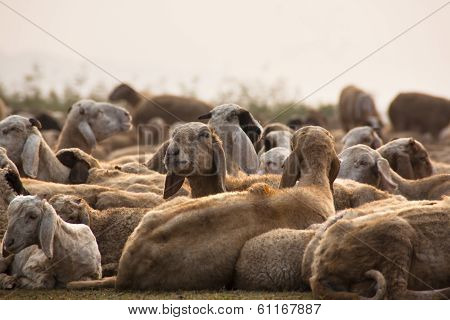 Flock of Sheep on a Rest