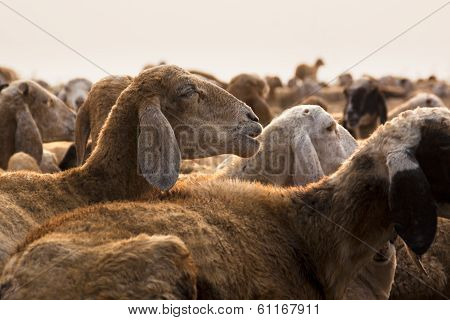 Sheep in a Rest