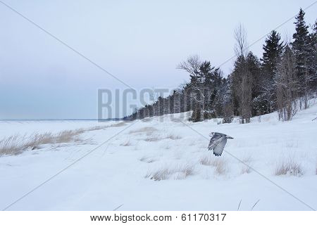 Snowy Owl Flying Over Frozen Beach - Lake Huron, Ontario, Canada