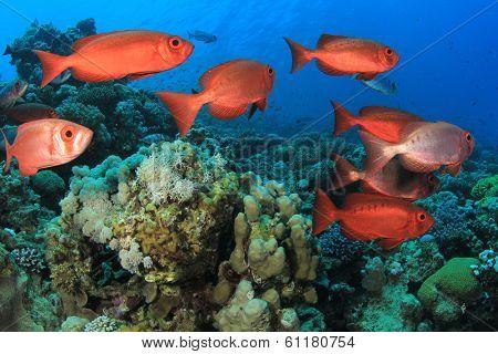Fish School: Red Common Bigeyes