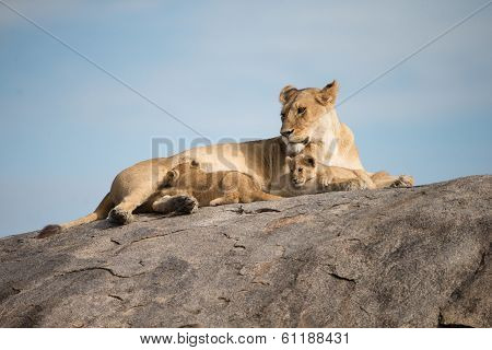 Lioness And Cubs Interacting On Gol Kopjes In Serengeti National Park