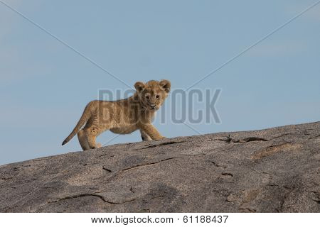 Lion Cub On Gol Kopjes In Serengeti National Park