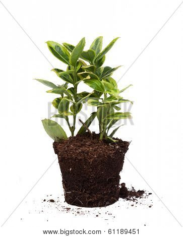 Nice plant without pot isolated on a white background