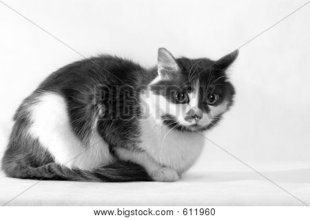 Gray-white Cat