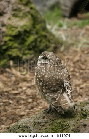 Burrowing Owl In Profile