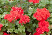picture of geranium  - Flowers of a red geranium close up  - JPG