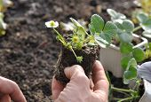 foto of strawberry plant  - Hand holding a strawberry plant for planting - JPG