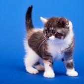 Scottish Purebred Cat poster