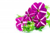 stock photo of petunia  - Colorful star purple petunia isolated on a white background - JPG