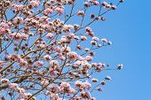 image of trumpet flower  - Sweet pink trumpet flower blooming on tree - JPG