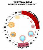 stock photo of contraception  - Menstrual cycle graphic detailed follicular development illustration menstruation and ovulation days - JPG