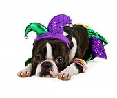 stock photo of jestering  - a cute boston terrier with a jester hat on - JPG