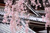 Japanese temple with weeping sakura
