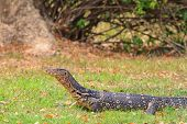 picture of monitor lizard  - Asian water monitor lizard on the ground - JPG
