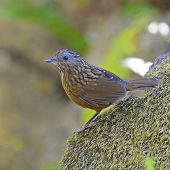 stock photo of babbler  - Babbler bird Streaked Wren Babbler  - JPG