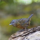 pic of babbler  - Babbler bird Streaked Wren Babbler  - JPG