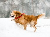Running red retriever in the snow in winter