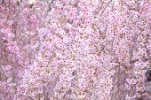 picture of weeping  - Weeping sakura - JPG