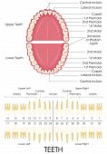 foto of human teeth  - vector illustration of diagram of human dental anatomy - JPG