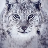 stock photo of apex  - A european lynx portrait in the snow - JPG