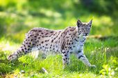 image of wildcat  - Eurasian lynx sneaks or stalking in the green forest.