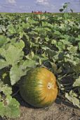 stock photo of hayride  - Partially ripened pumpkin in a patch with hayride and blue sky in the background vertical - JPG