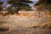 Gazelles running in Serengeti