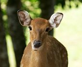 image of deer head  - Closeup head of a whitetail deer - JPG