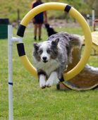 foto of border collie  - Tricolor Merle Border Collie jumping through a hoop - JPG