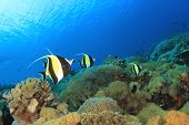 Coral Reef in Ocean with Moorish Idol fish