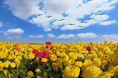 Spring in Israel. Picturesque large field of beautiful yellow buttercups ranunculus.