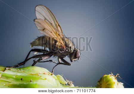 Macro Housefly