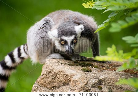 Portrait of sitting frightened lemur kata sitting on rock