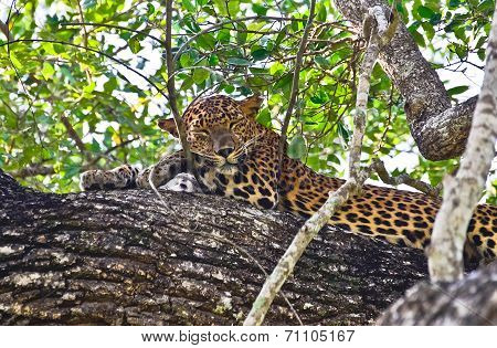 Sri Lankan Leopard - Panthera Pardus Kotiya At Wilpattu National Park