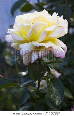 Gloria Dei Flower