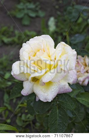 Rosa Gloria Dei