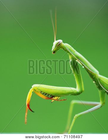 beautiful mantis on natural green background.