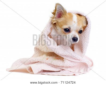 Cute Chihuahua dog with pink towel isolated