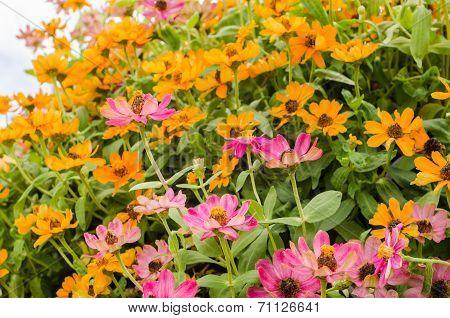 Zinnia Angustifolia Flowers