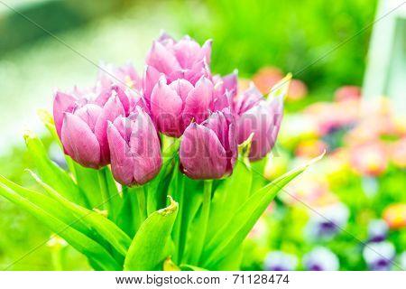 blooming purple tulips