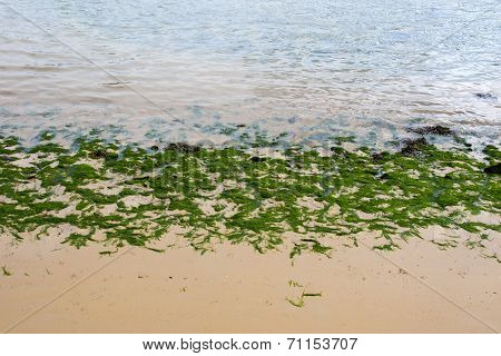 Youghal Bright Green Seaweed